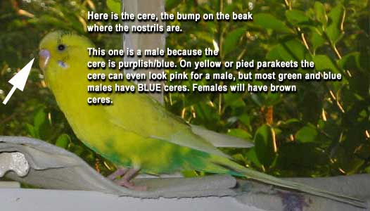 Parakeet FAQ: Frequently Asked parakeet questions