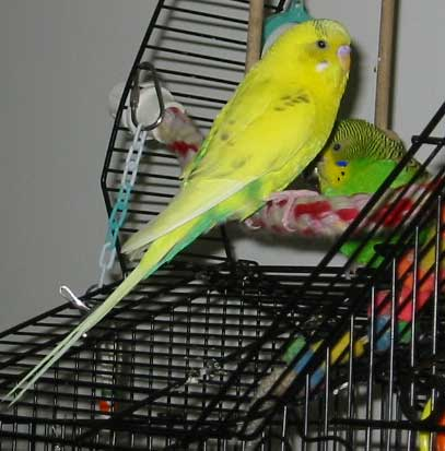 Parakeet Saga Growth Of A Baby Chick Frequently Asked Questions