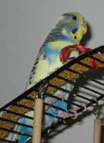 Rocky, the only parakeet I know with OCD